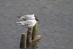 Black headed gull (Larus ridibundus) Stock Images