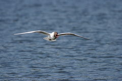 Black-headed Gull - Larus ridibundus Royalty Free Stock Image