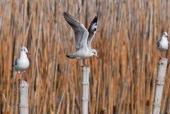 Black-Headed Gull (Larus ridibundus) Royalty Free Stock Photos