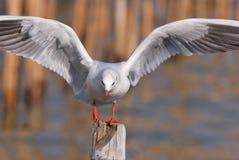 Black-Headed Gull (Larus ridibundus) Stock Photos
