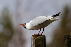 Black-headed gull. (Larus ridibundus) calling stock photography
