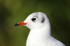 Black-headed gull, Larus ridibundus, Stock Photos