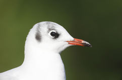 Black-headed gull, Larus ridibundus, Stock Images