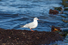 Black-headed gull Royalty Free Stock Photos