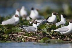 Black-headed gull, Larus ridibundus Royalty Free Stock Photo