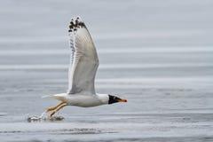 Black headed gull (larus ridibundus) in flight Stock Images