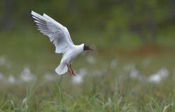 Black-headed Gull. Larus ridibundus in flight . Royalty Free Stock Images