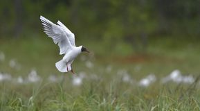 Black-headed Gull. Larus ridibundus in flight . Royalty Free Stock Photography