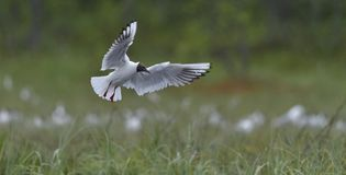 Black-headed Gull. Larus ridibundus in flight . Stock Images