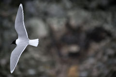 Black-headed Gull (Larus ridibundus) in flight  on a dark background in the early spring season. Royalty Free Stock Images