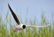 Black-headed Gull (Larus ridibundus) Stock Photography