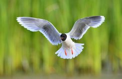 Black-headed Gull (Larus ridibundus). In flight on the green grass background Stock Photos