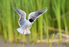 Black-headed Gull (Larus ridibundus) Stock Photos