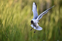 Black-headed Gull (Larus ridibundus) in flight Royalty Free Stock Images