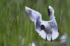 Black-headed Gull (Larus ridibundus) in flight Stock Photography