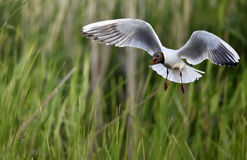 Black-headed Gull (Larus ridibundus) in flight Royalty Free Stock Photo
