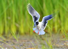 Black-headed Gull (Larus ridibundus) Royalty Free Stock Image