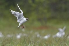 Black-headed Gull (Larus ridibundus) in flight Royalty Free Stock Photos