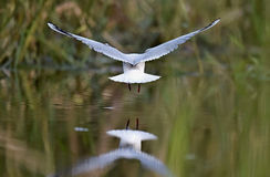 Black-headed Gull (Larus ridibundus) in flight with reflection. Back Royalty Free Stock Photo