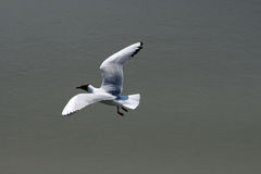 Black-Headed Gull, larus ridibundus, in flight. Stock Photos