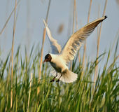 Black-headed Gull (Larus ridibundus) in flight Stock Photography