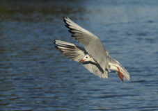 Black Headed Gull (Larus ridibundus) Royalty Free Stock Photos