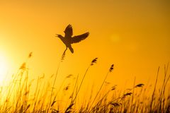 Black-headed Gull (Larus ridibundus) flying on sunset. Natural sunset red sky background, Stock Photography