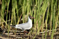 The black-headed gull ( larus ridibundus ) Royalty Free Stock Photos