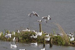 Black headed gull (Larus ridibundus) Stock Photography