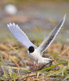 Black-headed Gull (Larus ridibundus)  landed Royalty Free Stock Photo