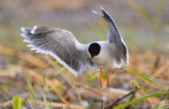 Black-headed Gull (Larus ridibundus) Royalty Free Stock Photography