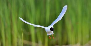 Black-headed Gull (Larus ridibundus) Royalty Free Stock Photo