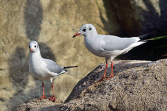 Black-headed Gull, Larus ridibundus. Laughing gull, ejempla rjoven, with winter plumage, perched on a rock Stock Photo