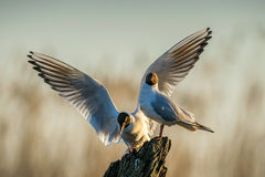 Black-headed Gull (Larus ridibundus) on the natural sunrise sky background. Front . Two gulls sitting on a old tree in sunrise lig Royalty Free Stock Photography