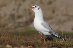 Black-headed gull, Larus ridibundus Stock Photography