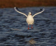 Black-headed gull, Larus ridibundus Stock Photos