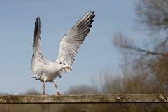 Black-headed gull, Larus ridibundus Royalty Free Stock Image