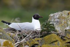Black-headed gull, Larus ridibundus. Single bird on nest, Northumberland, May 2014 Royalty Free Stock Photo