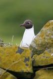 Black-headed gull, Larus ridibundus Stock Photo