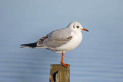 Black-headed gull, Larus ridibundus Royalty Free Stock Image