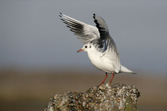Black-headed gull, Larus ridibundus. Single bird on post, Norfolk Royalty Free Stock Images