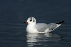 Black-headed gull, Larus ridibundus Stock Images
