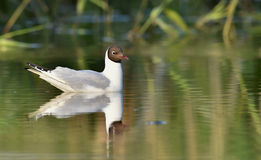 Black-headed Gull (Larus ridibundus)  sitting down at the water Stock Image