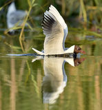 Black-headed Gull (Larus ridibundus)  sitting down at the water Royalty Free Stock Photos