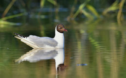 Black-headed Gull (Larus ridibundus)  sitting down at the water Stock Photography
