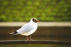 Black-headed Gull (Larus ridibundus) Royalty Free Stock Images