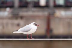 Black-headed Gull, Larus ridibundus, standing on a handrail at daylight in Hamburg Harbour Stock Photos