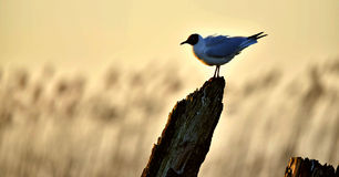 Black-headed Gull (Larus ridibundus) on sunset background Stock Photo