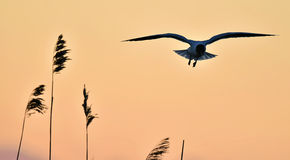 Black-headed Gull (Larus ridibundus) on sunset background Stock Image