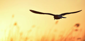 Black-headed Gull (Larus ridibundus) on sunset background Stock Photos